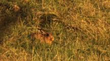 European Hare Resting In Morning Sun