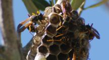 Asian Paper Wasp Building Cell