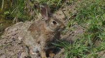 Rabbit Resting Near Burrow Entrance