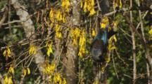 Tui Bird Feeding On Kowhai Flowers