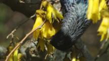 Tui Feeding On Kowhai Flowers Close Up
