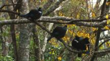 Tui In Kowhai Tree Displaying Then Exit