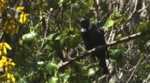 Tui In Kowhai Tree Singing Then Exits