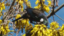 Tui Feeding On Kowhai Flowers Exits