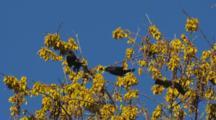 Tui Feeding On Kowhai Flowers