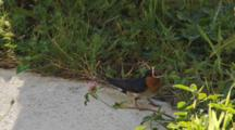Welcome Swallow Collecting Straw To Line Nest