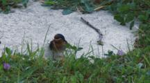 Welcome Swallow Collecting Straw To Line Nest Exits