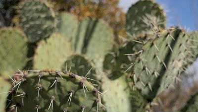 Prickly Pear Cactus including rack focus and close ups