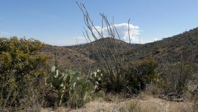Prickly Pear Cactus and Ocotillo