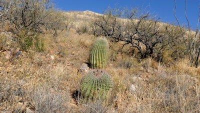 Barrel Cactus including close ups