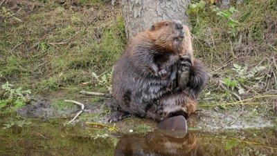 Beaver,very fat,grooming on stream bank.