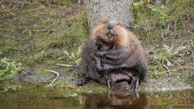Beaver,very fat,grooming on stream bank.
