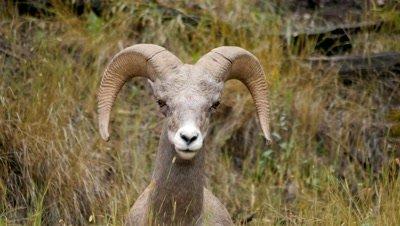 Rocky Mountain Bighorn Sheep,Young Ram resting,ruminating.