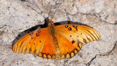 Gulf fritillary Butterfly warming on a sunny rock