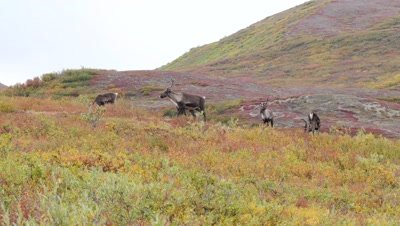 Caribou cows and calfs with rich fall colors.