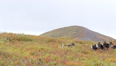 Caribou cows and calfs fleeing,rich fall colors.