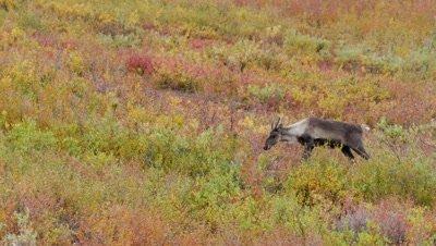 Caribou cow trotting through scrub,rich fall colors.