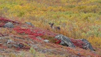 Caribou cow trotting through scrub approaches,rich fall colors.