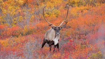 Caribou bull staring at camera,rich fall colors.