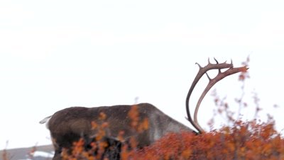 Caribou bull feeding in scrub,rain starting,rich fall colors.