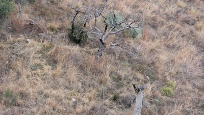 Coues deer two does and fawn feeding