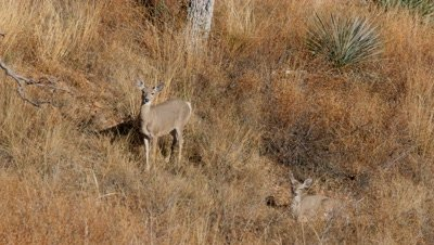 Coues deer doe and fawn in morning sun,fawn bedded doe watching