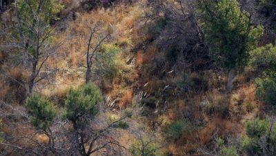 Coues deer doe walking through old burn exits