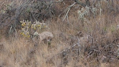 Coues deer buck standing next too Cane cholla scratches then looks uphill
