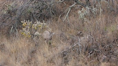 Coues deer buck standing next too Cane cholla watching doe uphill then beds down