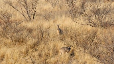 Coues deer buck following doe,doe runs