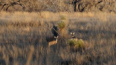 Coues deer doe and fawn watch nervously at dawn then run tails erect,flagging