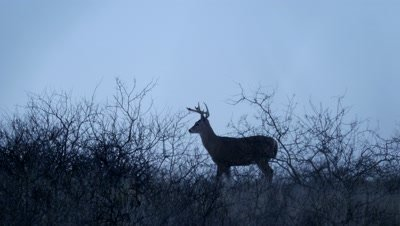 Coues Deer Large Buck Standing in Brush Silhouetted at Dawn