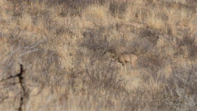 Coues deer doe feeding in heat of day,heat shimmer