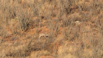Coues deer doe feeding among ocotillo in early morning sun,buck top left