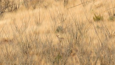 Coues deer young buck in dry grass and ocotillo in early morning sun