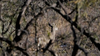 Coues deer young buck,spike,hidden in brush,moves off nervously