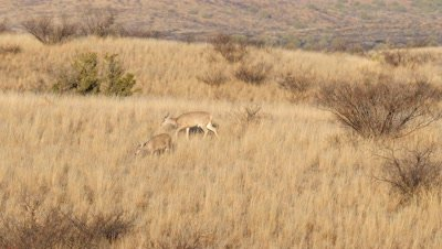 Coues deer doe and fawn feeding in early morning sun,buck enters and chases doe