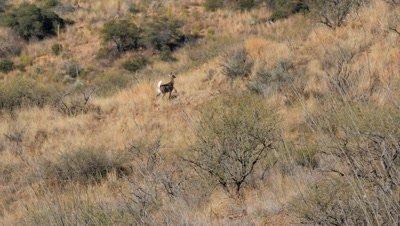 Coues deer doe fleeing trail erect