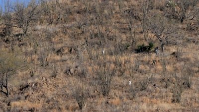 Coues deer does,fawn and buck fleeing though ocotillo on open slope,tails erect. Wide shot.