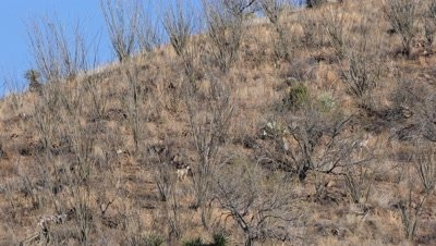Coues deer does,fawn and buck fleeing though ocotillo on open slope,tails erect,exit. Wide shot.