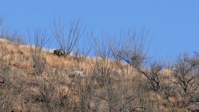 Coues deer does,fawn fleeing though ocotillo on skyline. Wide shot.