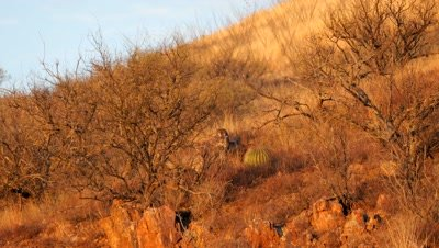 Coues deer doe and fawn feeding in early morning sun