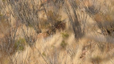 Coues deer buck,spike and doe among dry grass and ocotillo,buck approaches spike