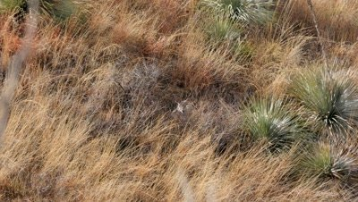 Coues deer doe bedded in long grass among common sotol