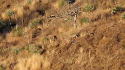 Coues deer does and young buck,spike,in early morning sun. Buck chases due.