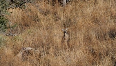 Coues deer doe watching
