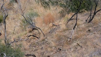 Coues deer doe and fawn feeding in old burn