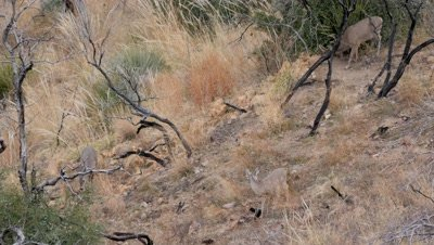 Coues deer large buck with doe and fawn in old burn
