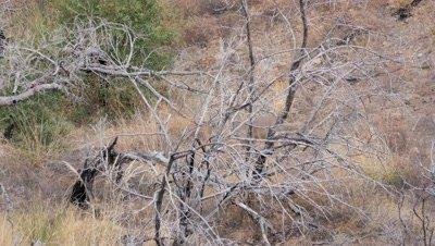 Coues deer large buck in old burn beds down behind dead tree