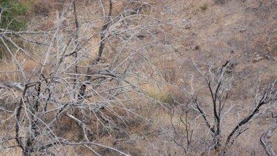 Coues deer large buck in old burn behind dead tree chewing cud